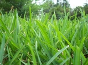 St  Augustine Grass | Starr Turf Grass | Sunnyvale, TX